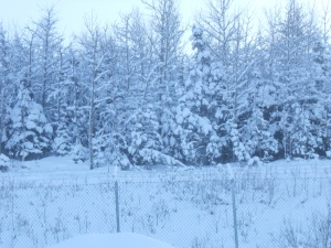 more snowy trees 001